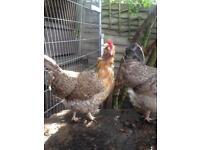 Legbar Hybrid Hens
