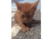 Ginger Kitten - 8 Week Kitten