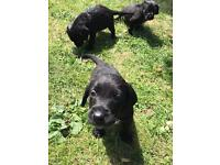 Labrador x Springer Puppies Ready Now