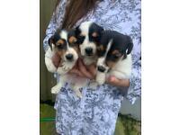 Jack Russel pups