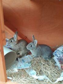2 x netherland dwarf male rabbits with hutch