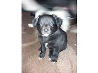 Labrador x collie puppys