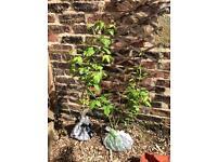 Free raspberry canes plants