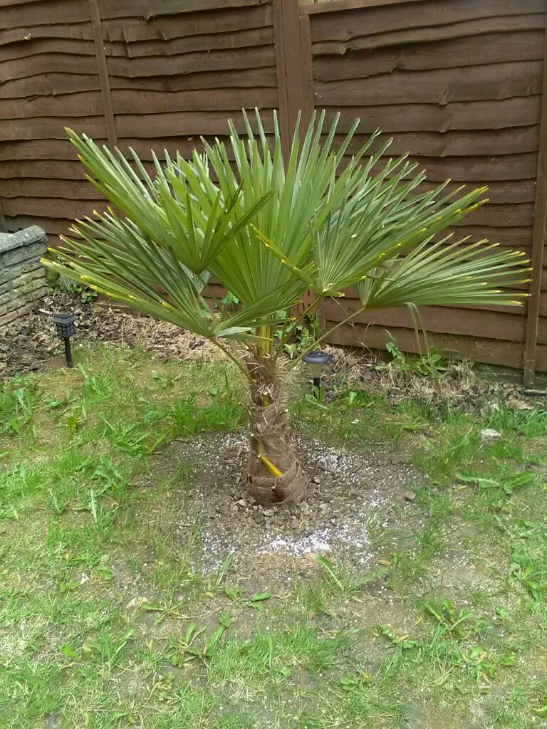trachycarpus fortunei palm tree in cwmbran torfaen. Black Bedroom Furniture Sets. Home Design Ideas