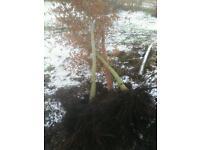 Garden trees for sale