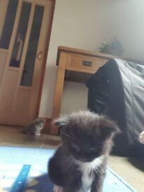 Ragdollxmainecoon kittens