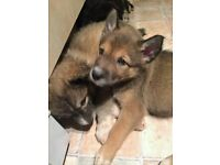 cross collie husky puppies 7 weeks old ready to leave on the 12th january brown black and sable