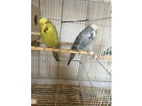 Pair of exibition budgies for sale