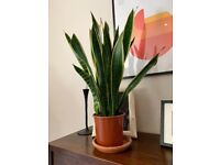Glorious healthy 90cm tall snake plant