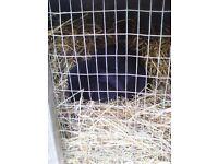 2 black rabbits free