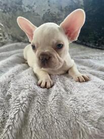Lilac & Tan Platinum Puppies