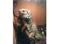 Green Iguana looking for a new home - Iggy