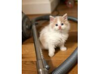 Beautiful White and Ginger Longhaired kitten