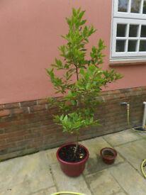 Bay Tree in Pot 1.70cm