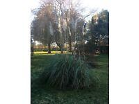 PAMPAS GRASS free to good home!