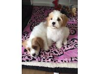 Cavachon Puppies for sale to a loving home