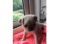 Stunning Pug Puppies For Sale.