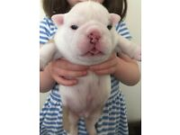 KC Registered British Bulldog Puppies for sale