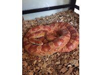 Male Corn Snake full set up