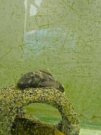 Baby Green Dragon Plecos SPECIAL OFFER