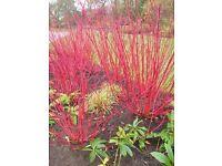 Dogwood red stemmed flowering shrub plant perennial