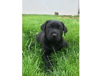 Doberman Cross Pup