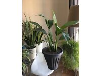 Peace lily - Spathiphyllum Chopin (50cm Approximately) – House plant
