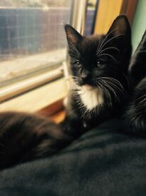 Beautiful black and white kitten