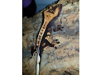 Stunning male dark based harlequin high % pinstripe crested gecko with awesome lineage and structure