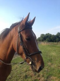15hh Chestnut Mare 4 yrs old