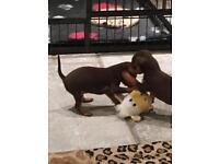 Gorgeous miniature pinscher pups for sale
