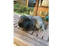 Male Guinea Pig.
