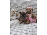 Beautiful chihuahua cross pomeranian puppies