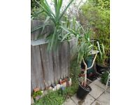 large Yucca tree plant - needs re-potting and tlc
