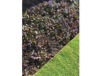Ajuga reptans - 'Atropurpurea' - plants for sale... & new bistro patio table and 2 chairs...