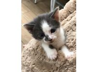 Beautiful grey and white kitten READY NOW