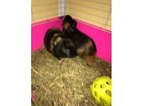 2 lovely male guinea pigs about 8 months /plus large cage