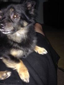 Chihuahua dog (SOLD)!