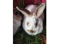 2 x Female Rabbits - White / Grey and White / Brown - Indy and Pickle !