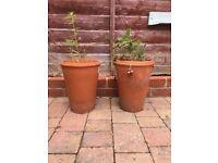 Two plants in pot