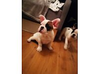 *FRENCH BULLDOG PUPPIES *PRICE IS NEGOTIABLE * READY TO GO NOW* ONLY 2 MALE PUPS LEFT*