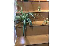 PLANT Large Spider plants. £5 each. OFFER!!! Or £8 for 2 pots. Indoor or outdoor.