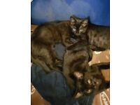 3 Cute black kittens for sale