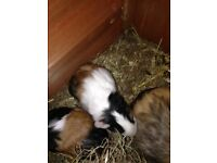 2 baby boys guinea pigs and 2 baby girls guinea pigs