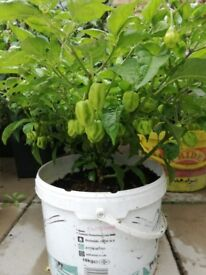 Green scotch bonnet plant (large) 40+ CHILLIES, Good price