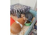 3x male guinea pigs must be homed together