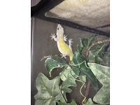 Golden Gecko For Sale
