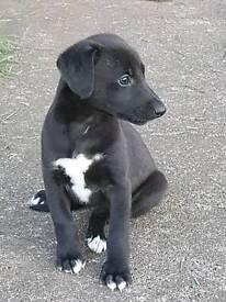 Whippit x greyhound saluki pups