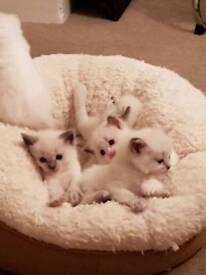 Ragdoll Registered kittens