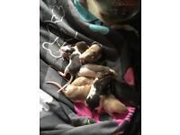Beautiful rat babies